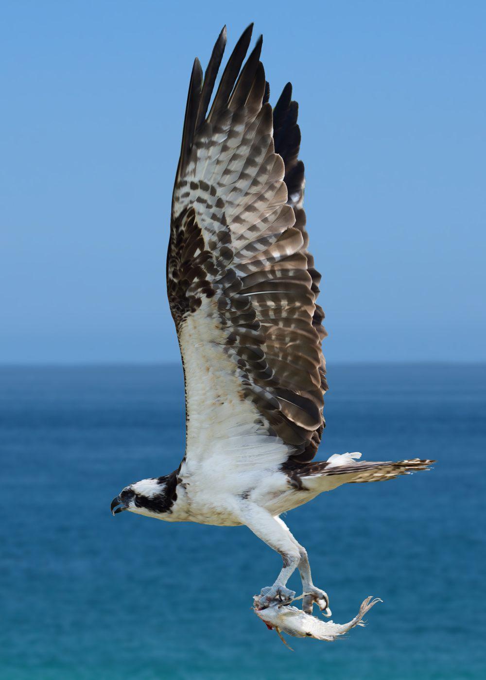 1018 Floridian Osprey